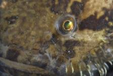 Nieuwe exotische vis in Oosterschelde