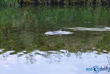 Noord-Hollandse bruinvis had modder in longen