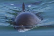 Toenemend aantal bruinvissen in Oosterschelde