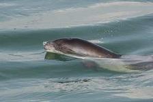Bruinvissen verhongeren in Oosterschelde