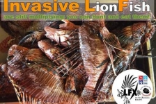 Antoinette Kolman- The lionfish