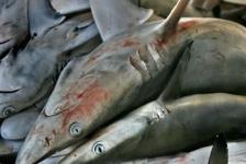 Honderden haaien aangespoeld bij Iran