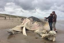 Een na grootste dier aangespoeld op Texel