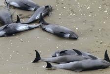 Aangespoelde dolfijnen voorteken van aardbeving?