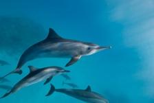 Dolfijnen hebben complex sociaal netwerk