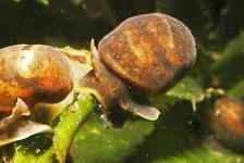 Slijkgaper, wenteltrap, beekmuts, trapgevel: alle schelpdieren hebben een naam