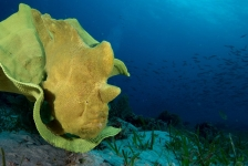Sandra Boerlage – Frogfishes, froghfishes, froghfishes