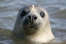 Zeehonden richten slachtpartij onder bruinvissen aan