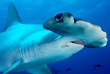 Kwart haaien en roggen met uitsterven bedreigd