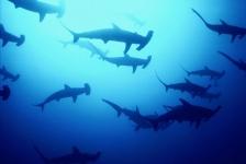 Haaien in Costa Rica opnieuw in gevaar