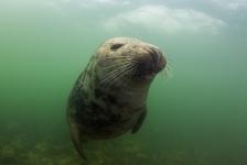 De grijze zeehond ontmaskerd