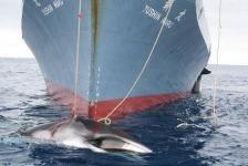 Japan gaat niet op walvisjacht