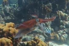Mieke Mombers – Parende pijlinktvissen bij Bonaire