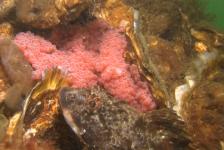 Jackie Oomen – Zeedonderpad met nest