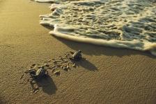 Legstrand zeeschildpadden in Suriname loopt gevaar