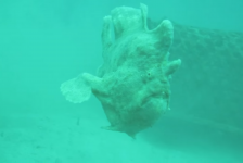 Karel Mestdagh – Free the Frogfish