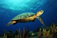 Jeugdervaringen van invloed op migratie zeeschildpad