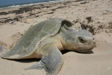 Zeldzame zeeschildpad sterft na stranding