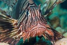 Nemen koraalduivels ook Middellandse Zee over?