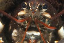 Marloes Otten – Monsterkreeft
