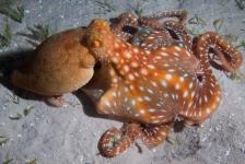 Lia van Nieuwenhuizen – Jagende octopus: fotoserie