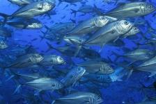 Vissen met vorkvormige staart zijn beter bestand tegen rampen