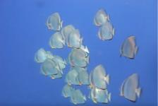 Malini Witlox – Batfish in Egypte