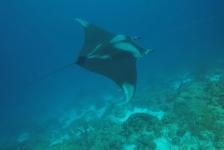 Diana van den Heuvel – Manta op Bonaire