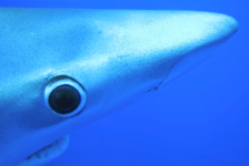 Marcel van der Velden – Blauwe haaien en mobula's in de Azoren