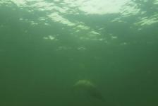 Marloes Otten – Zeehond onder water
