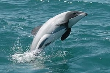 Help zeldzaamste dolfijn ter wereld beschermen!