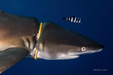 Haai met halsband…