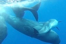Potvissen adopteren misvormde dolfijn