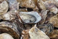 Voortplanting van oesters bedreigd door plastic in zeewater