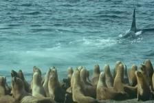 In beeld: Orka's jagen op zeeleeuwen