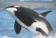 Orka's kunnen leren communiceren als dolfijnen
