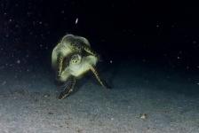 In beeld: Parende schildpadden bij Statia