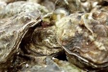 Wat is een platte oester?