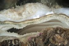 Krabbelt de platte oester weer op?
