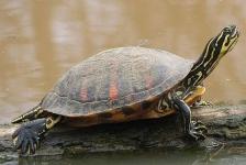 Exotische zoetwaterschildpadden in Nederland herkennen