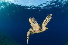 Manier van ademhalen schildpad ontstond bij dinosauriërs