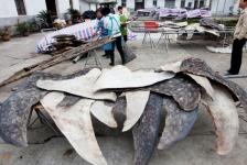 Chinees slachthuis verwerkt jaarlijks 600 walvishaaien
