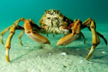 In beeld: The March of the Spider Crabs