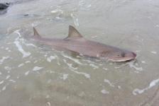 Aangespoelde haai gestorven aan hoofdwond