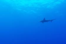 Vidar Kraaijevanger – The usual suspects… en haaien, heel veel haaien