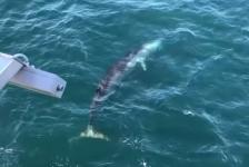 Zeldzaam in de Noordzee – Vinvis gefilmd bij windmolenpark