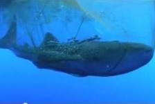 Walvishaai wordt uit visnet bevrijd