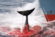 Japanners doden ruim honderd walvissen