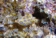 Wendy Versluis – Blauwgeringde octopus