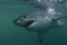 Witte haai eerder in Nederland dan gedacht